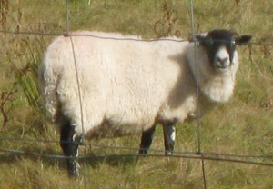 Scottish_sheep